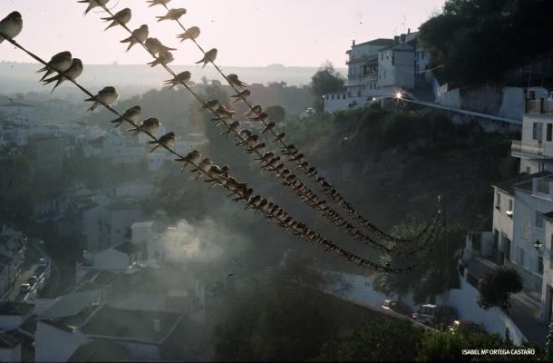 """""""Golondrinas en Setenil de la Bodegas"""". Premio Medio Ambiente de la Junta de Andalucía. Año 2000. Foto: ISABEL Mª ORTEGA CASTAÑO"""