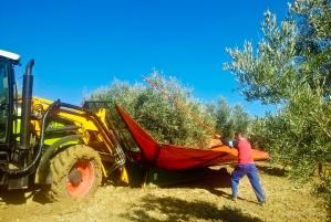 """Los """"paraguas"""" forman parte del paisaje de la recogida de la aceituna. Foto: MARIO GARCÍA VARGAS."""