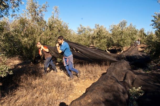 Recogida de la aceituna en Los Montecillos. Esta imagen muestra el esfuerzo en el traslado de los telones para cubrir el suelo del olivar. Foto: MARIO GARCÍA VARGAS.