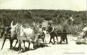 Labores de trilla en la era del Tejarejo. 1952. Foto cedida por José María Benítez.