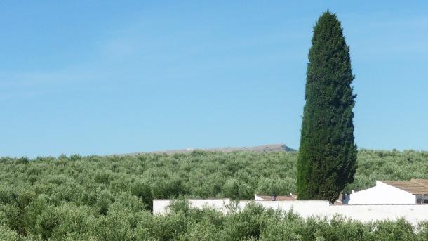 Desde el tejado de la ermita de San Sebastián se divisa Acinipo, tras un maravilloso mar de olivos. En primer plano, el cementerio. Foto: ÁNGEL MEDINA LAÍN