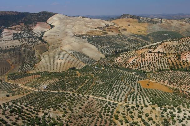 Tierra de olivares entre Pruna y Olvera. Eneror de 2014. Foto: CAMPESE. Más imágenes en http://goo.gl/aWPRCR