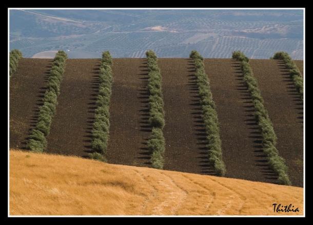 Hermosísima composición de olivares y campos de cereales en la carretera de El Gastor a Setenil, cerca de Los Villalones. Foto: PACA ATIENZA. La autora de esta fotografía es natural de El Gastor. Abajo, una preciosa fotografía de su padre. Más imágenes suyas en este enlace http://bit.ly/1EM0HzA