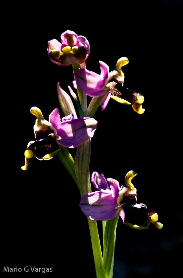 La naturaleza es un motivo recurrente en las fotografía de Mario García Vargas, que dispara con cabeza de biólogo y corazón de artista. En esta imagen vemos un detalle de una orquídea avispa en el arroyo de La Clica. Enlace a Flickr https://goo.gl/Wd6u4j