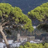 Mario García Vargas lleva hasta el casco urbano los fabulosos pinos del Tejarejo. Más imágenes en este enlace https://goo.gl/iraSmZ