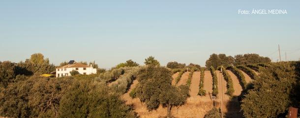 La finca Las Mesetas, propiedad de Paco Camacho, tiene una extensión de 60 hectáreas (50 de montes), de tradición ganadera y agrícola. En ese espacio, 1,3 hectáreas se dedica al viñedo. A la izquierda, una imagen del campo. Foto: ÁNGEL MEDINA.
