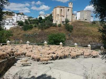 La ovejas pastan frente al castillo de Setenil.