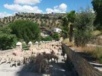 Las ovejas, camino del rio.