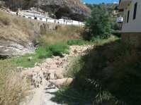 Las ovejas, comiendo en el río Guadalporcún.